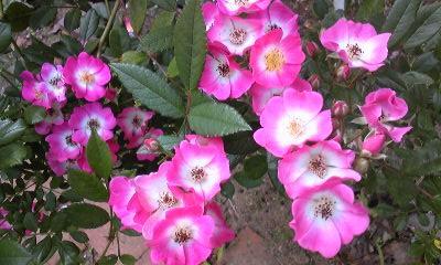 110609_1mozart rose.JPG